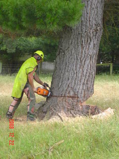 large tree felling